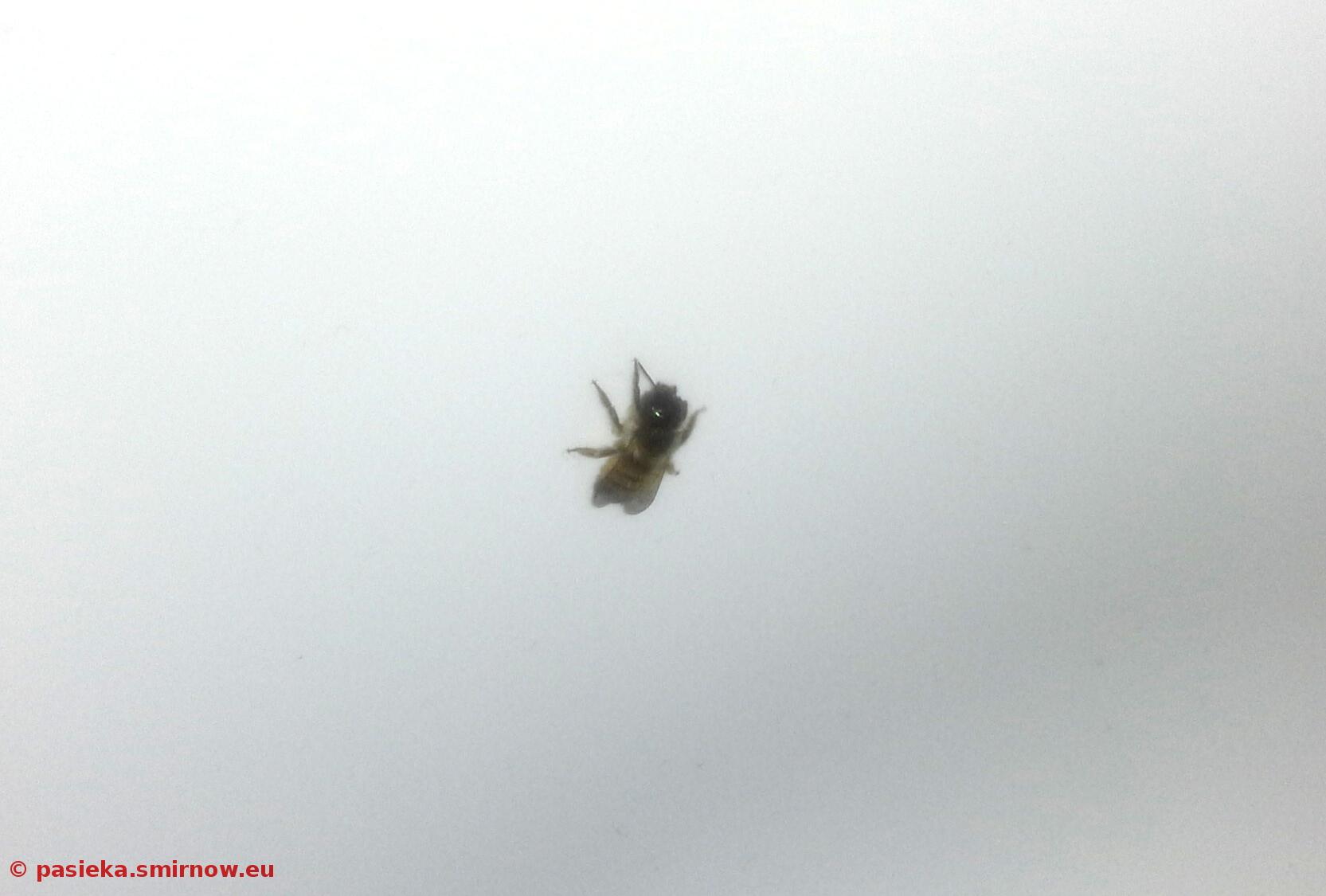 Pszczoła w  wannie