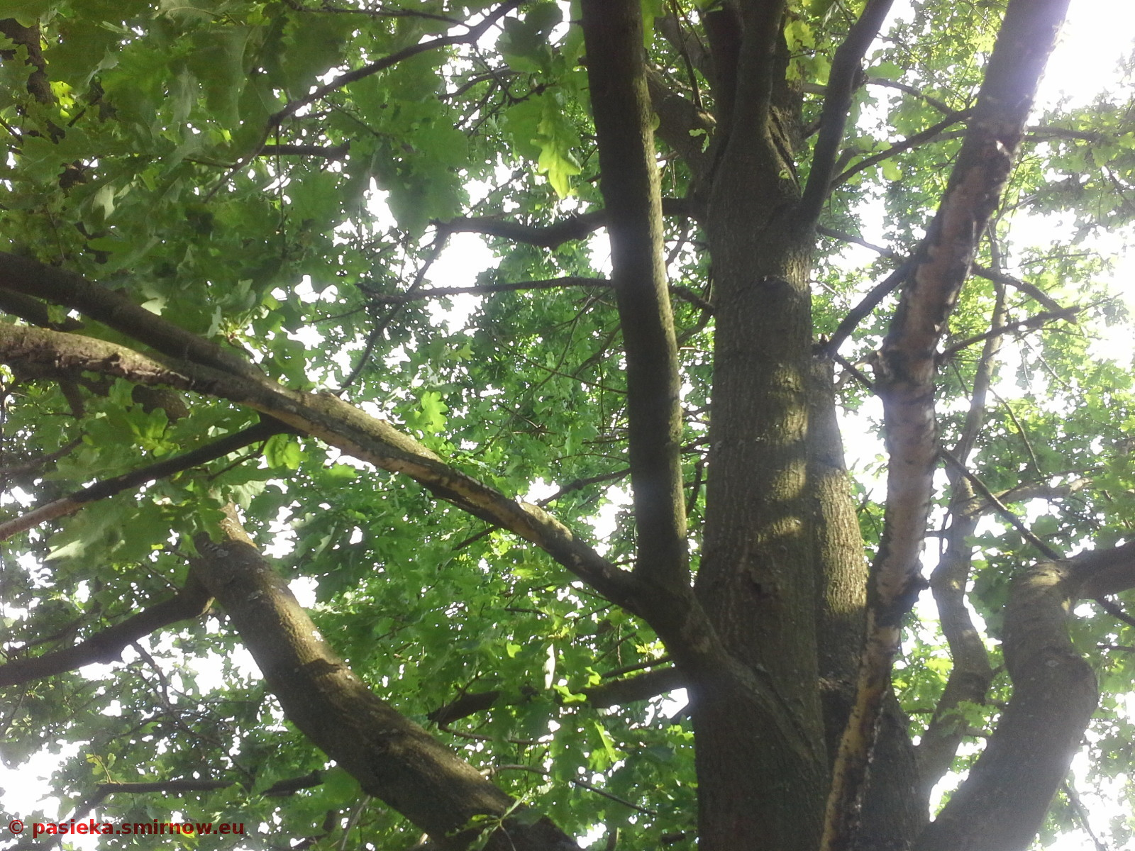 Nie widać rojołapki na gałęzi