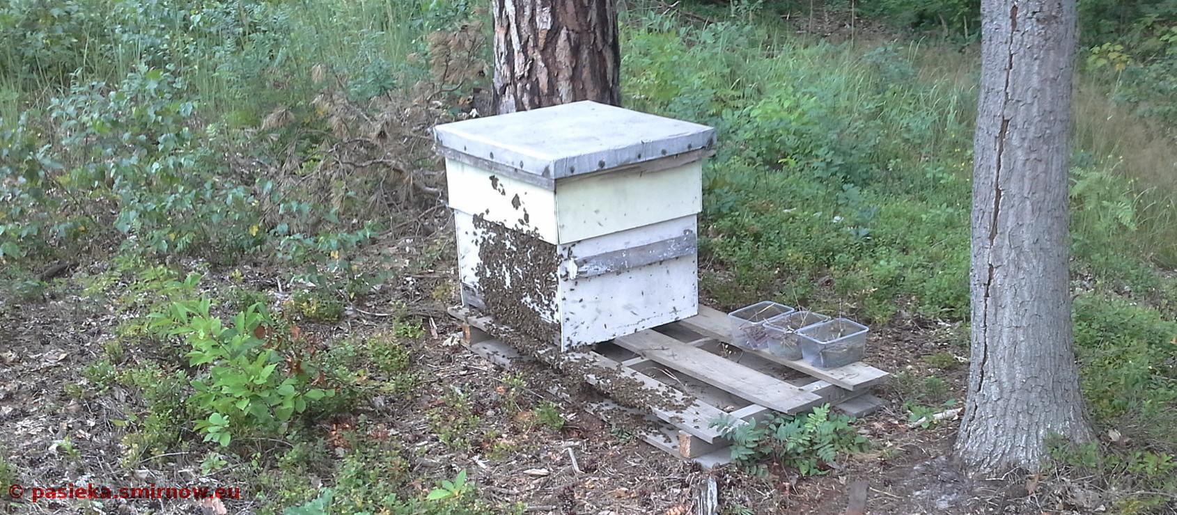 Rozsypane pszczoły dążą do nowego ula
