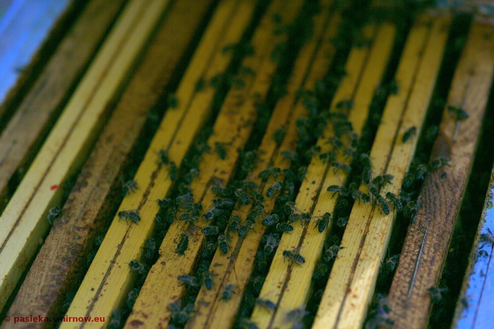 Pszczoły na ramkach