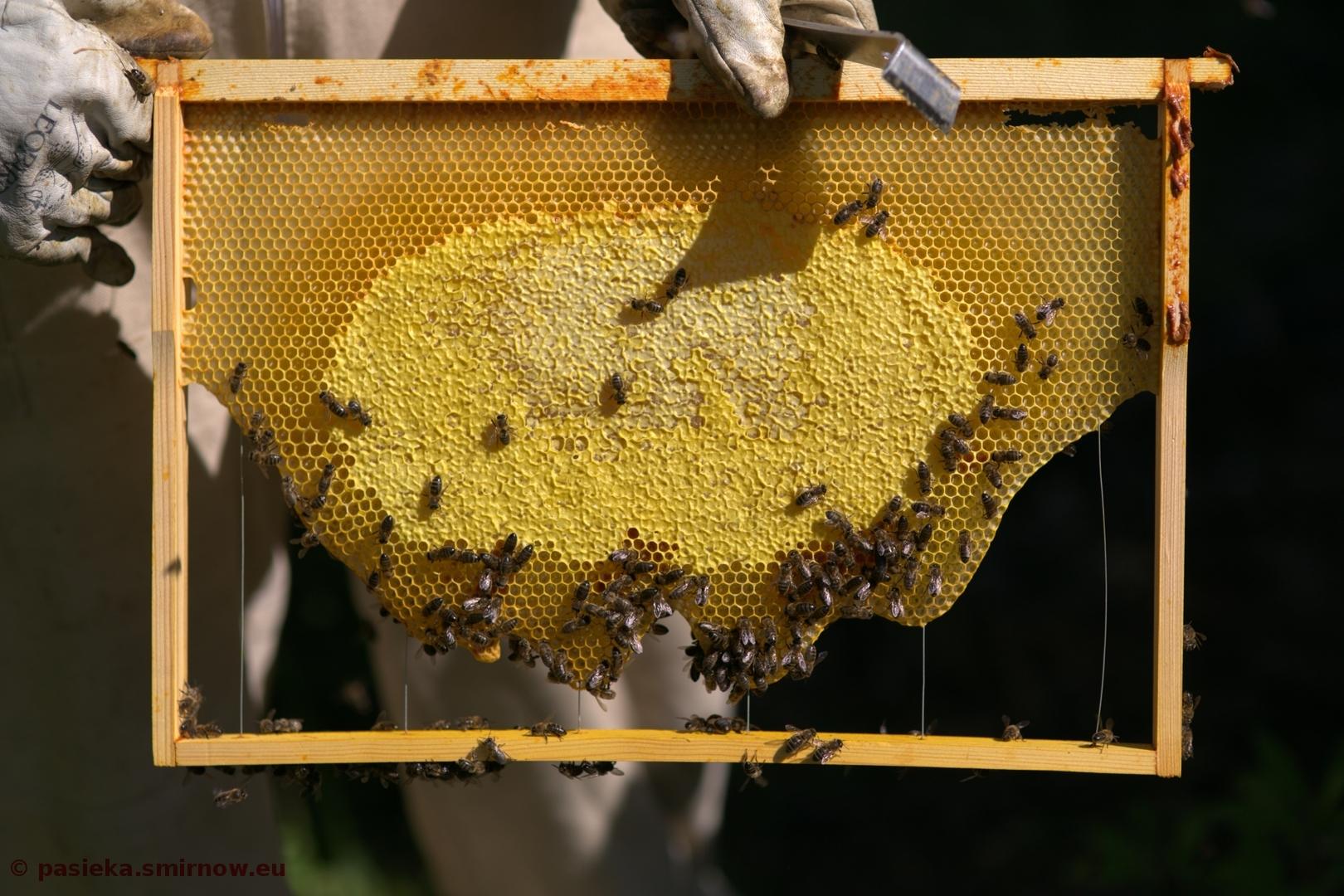 Ramka, dzika zabudowa robocza, zasklepiona żółta nawłoć