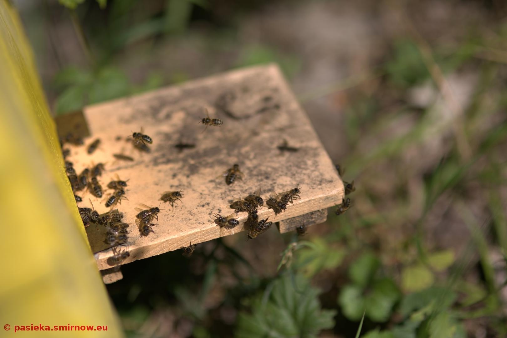 Pszczoły na wylotku