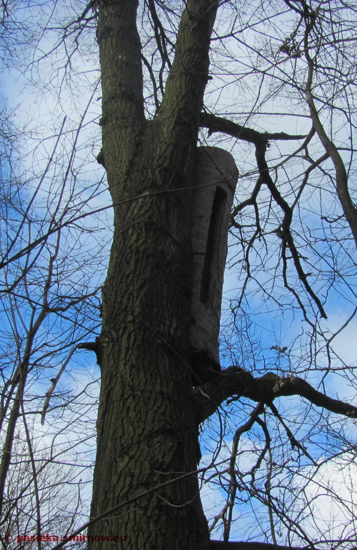 Kłoda bartna na drzewie