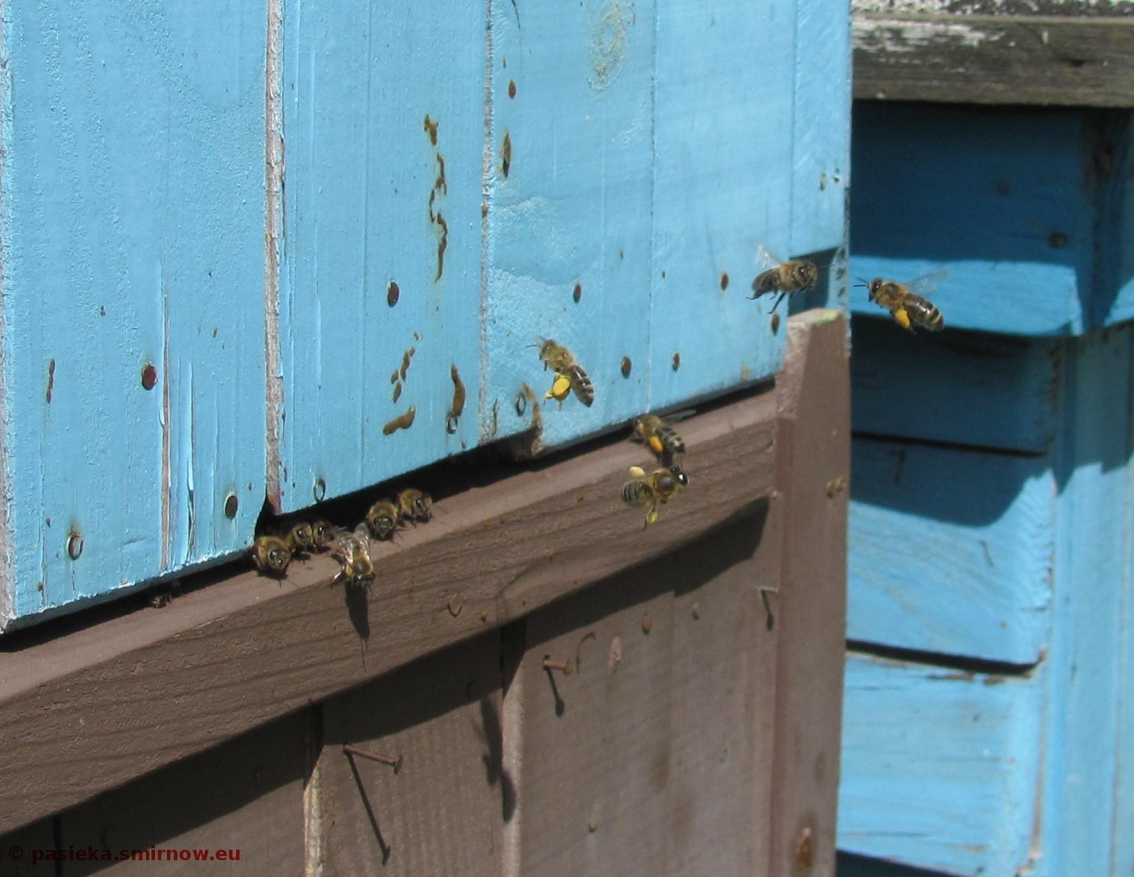 Y01Las - pszczoły chodzą z pyłkiem