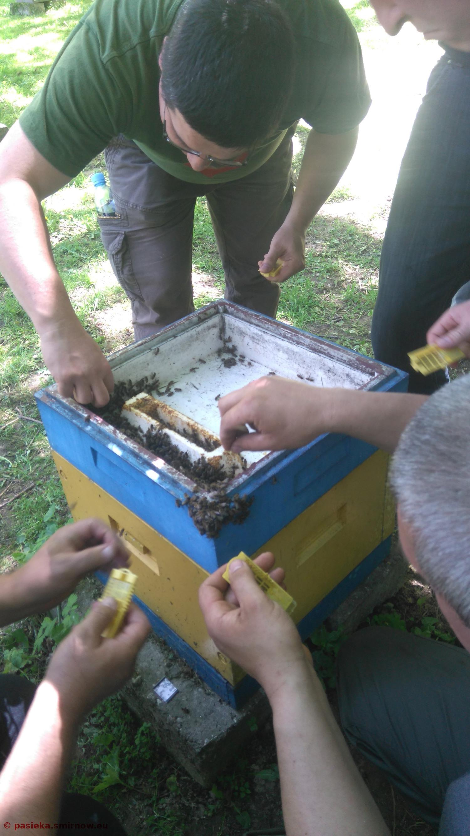 Pszczela Wola - praktyki - napełniamy klateczki hodowlane