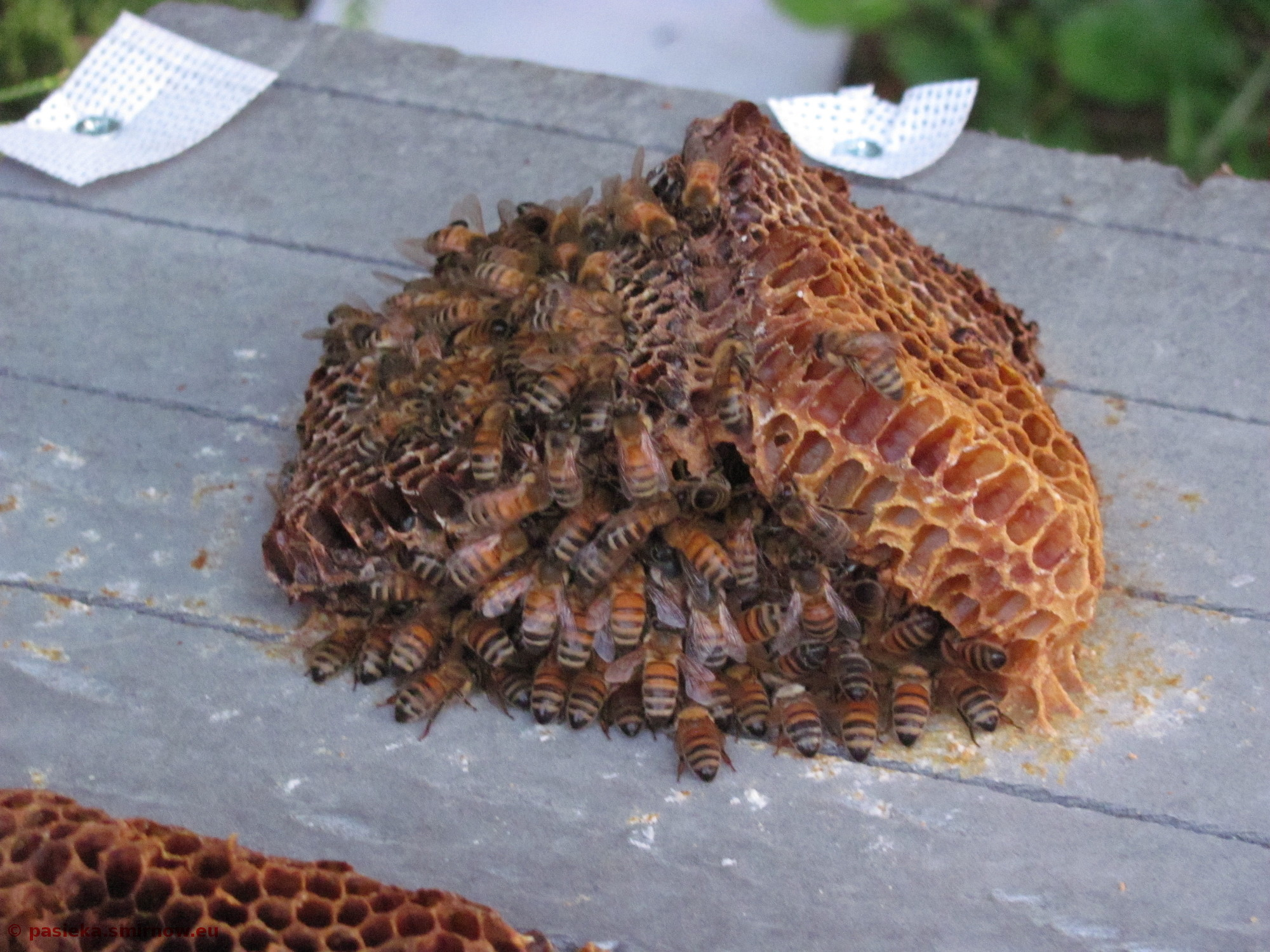 Kłębik pszczół spędził noc pod namiotem
