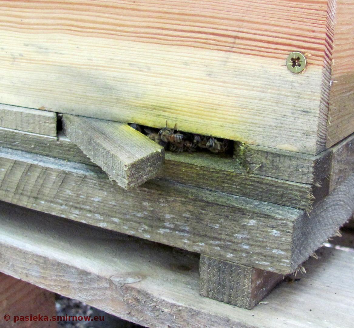 Jak ładnie pszczoły propolisują!