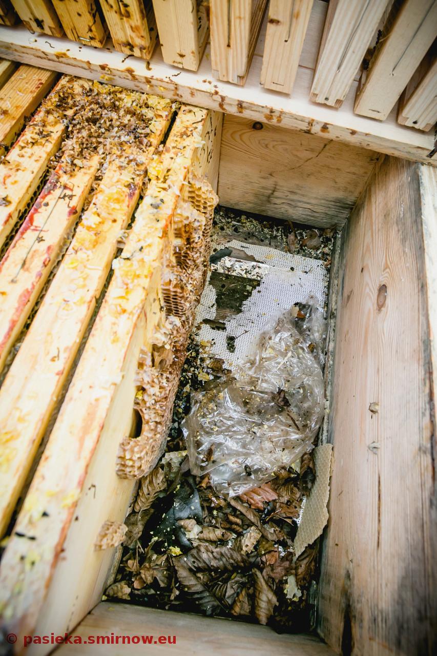 Myszy niszczą rodziny pszczele w zimie