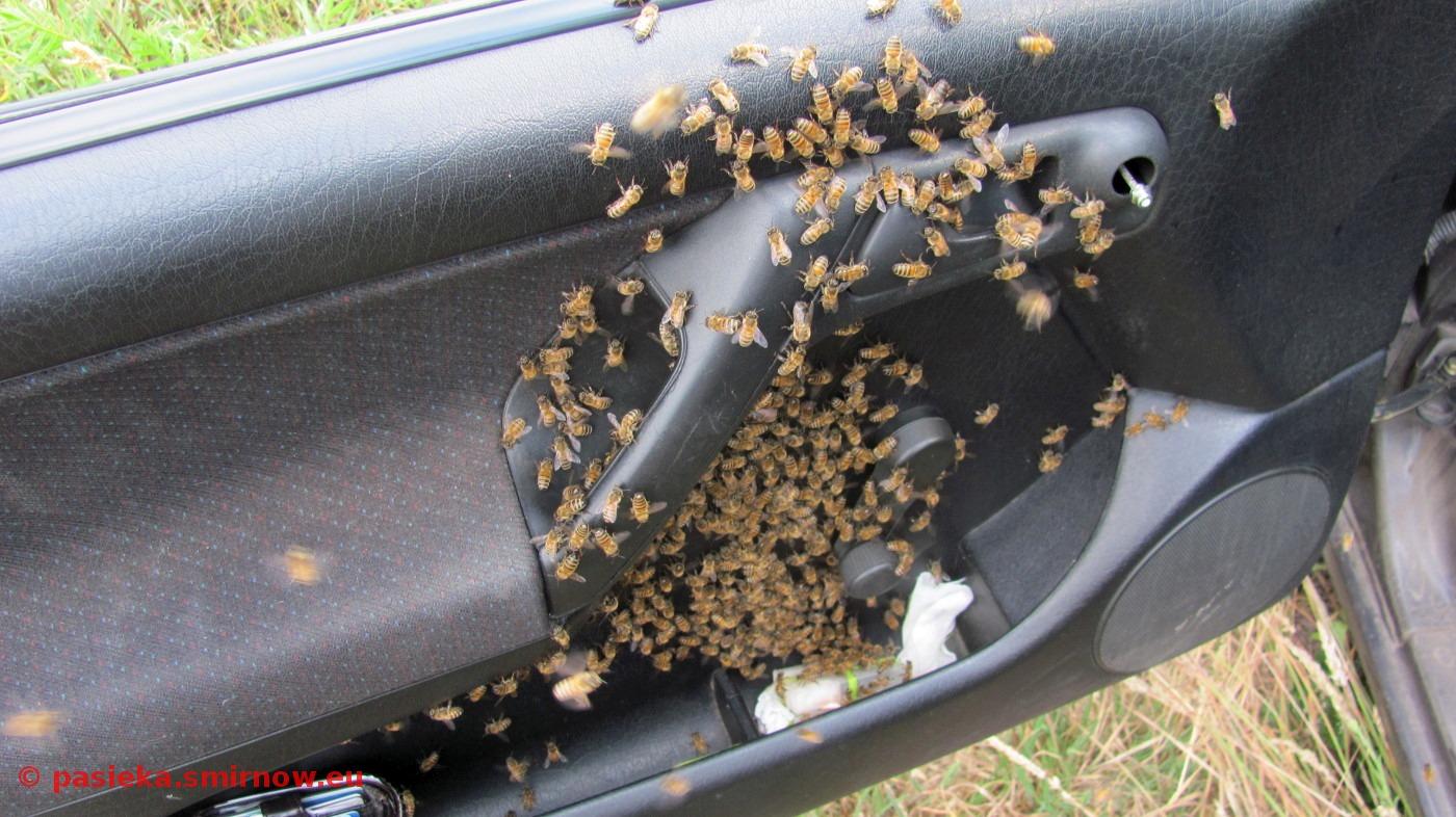 Pszczoły obsiadły klateczkę z matką
