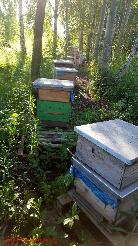 Długa pszczela linia