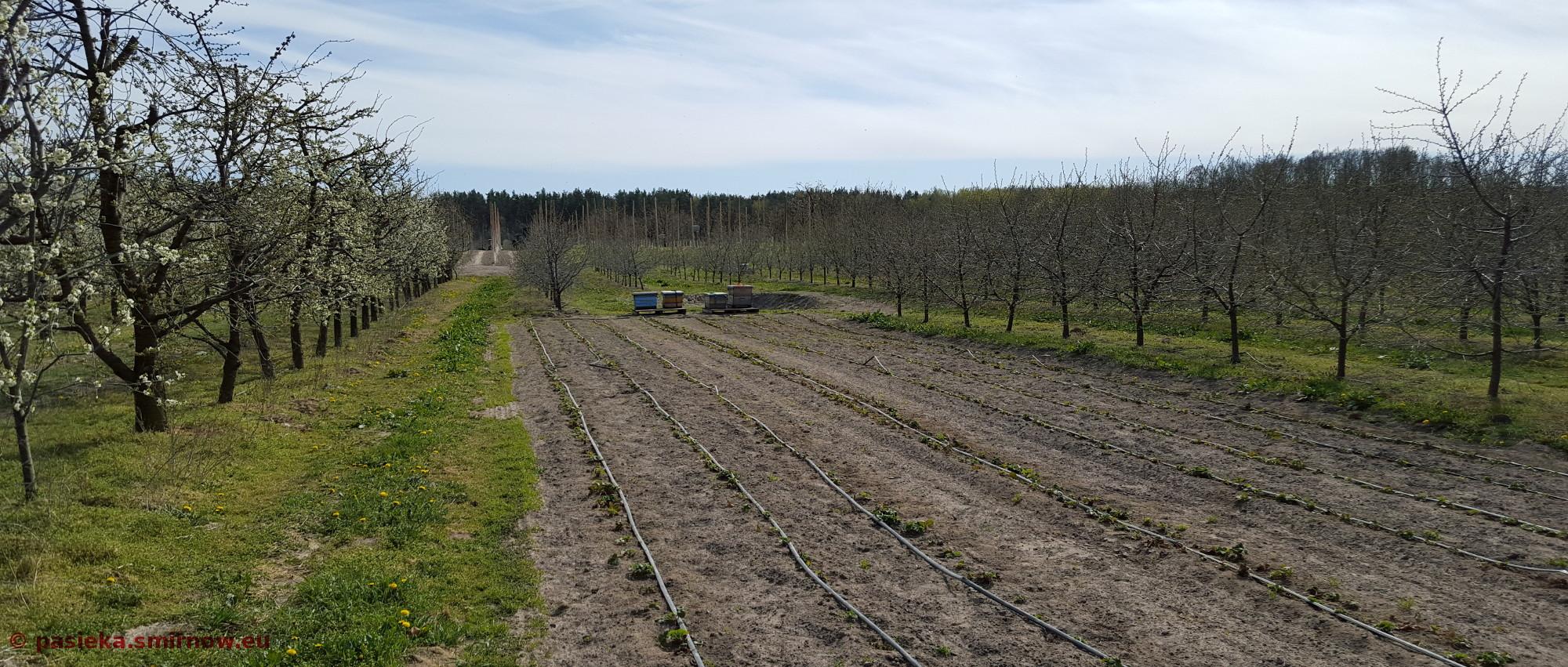 Ule przy truskawkach
