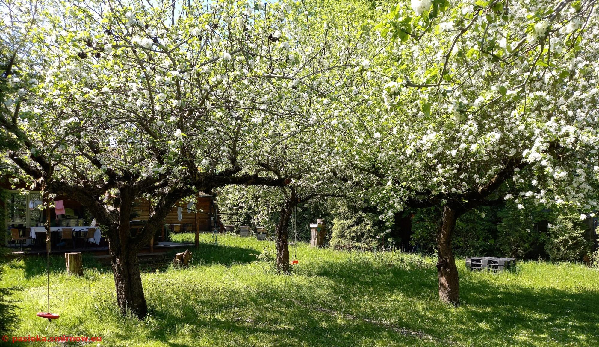 Zakwitły jabłonie przebiałe